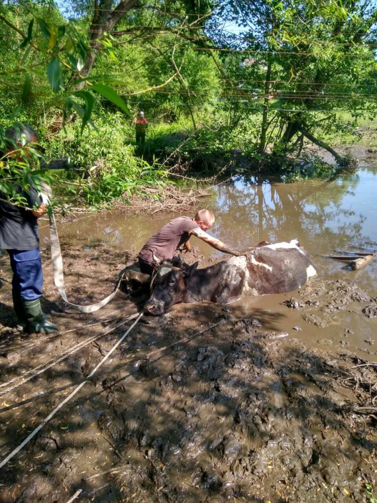 На Золочівщині корові врятували життя