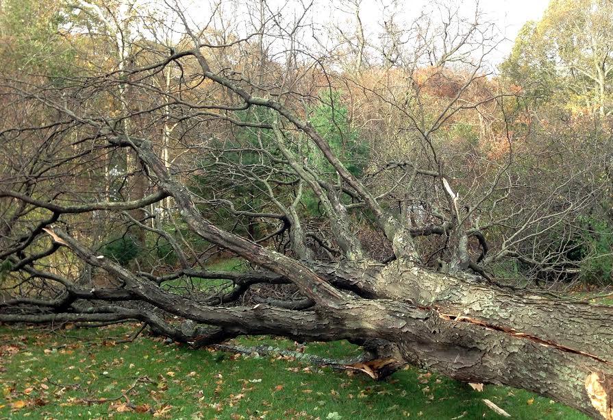 На Львівщині дерево смертельно травмувало чоловіка. Фото: відкриті джерела.