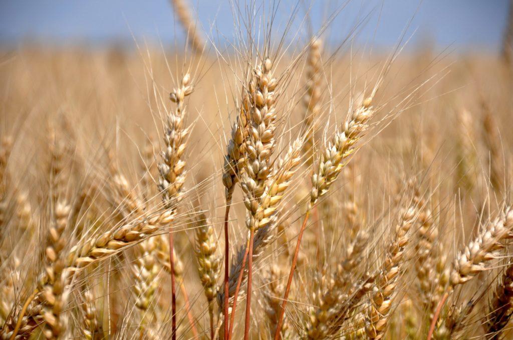 пшениця Фото: відкриті джерела.