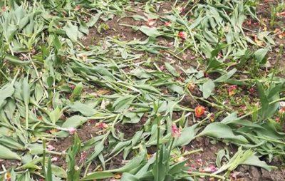 У Рівному знищили 5 тисяч тюльпанів . Фото: Микола Прокопчук.