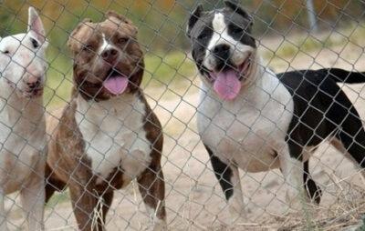 На Буковині двоє бійцівських собак накинулись на хлопця з інвалідністю. Фото: відкриті джерела.