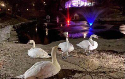 У Львові зимують лебеді