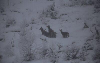 У засніжених Карпатах зафіксували стадо оленів. Фото: Мирон Марецький