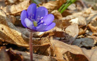 У поліських лісах зацвіли блакитні квіти. Фото: Олександр Богданець