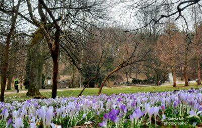 У Стрийському парку зацвіли крокуси. Фото: Олександр Лік
