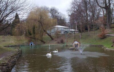 На озеро у Стрийському парку повернулися лебеді. Фото: ЛМР