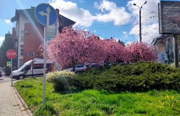 У Львові почали масово цвісти сакури. Фото: Львів. Містобудування