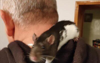 У Золочеві до людей прибився пацюк