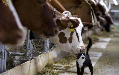 Аграріям спрямували другий транш за утримання корів