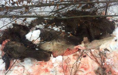 На Львівщині вбили лося