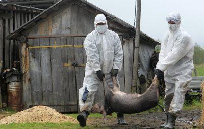 Біля Львова масово вмирають свині